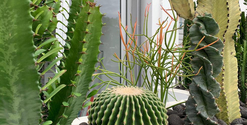 Echinocactus  'Spineless Barrel'