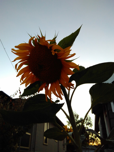 A beautiful sunflower growing in someone's garden