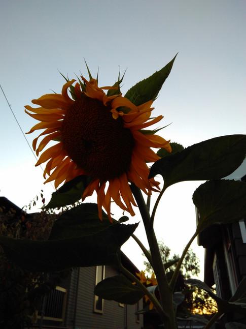A beautiful sunflower growing in someone's garden