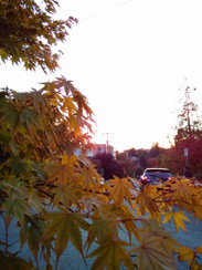 Autumn sunset on leaves - the photo doesn't do the colours any justice
