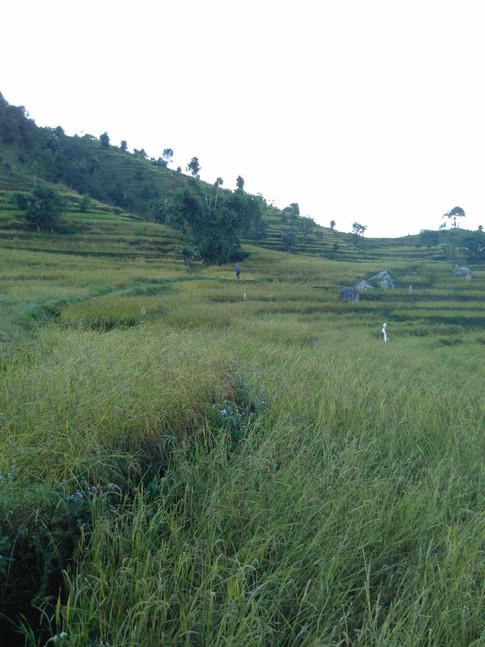 Rice fields - Nepal