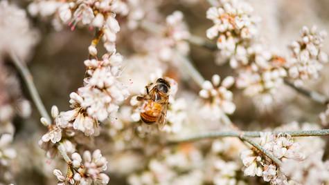 Honey Bee 1