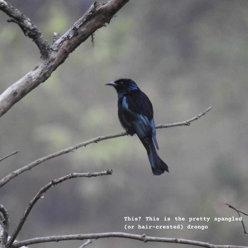 The spangled (also called hair-crested) drongo
