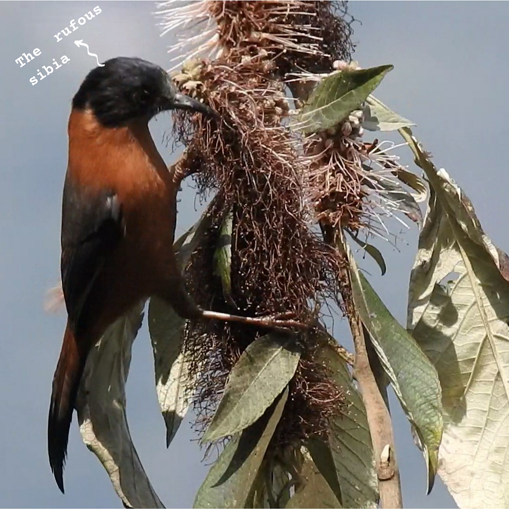 A rufous sibia: A brownish coloured bird with a black head, pecking on a flower