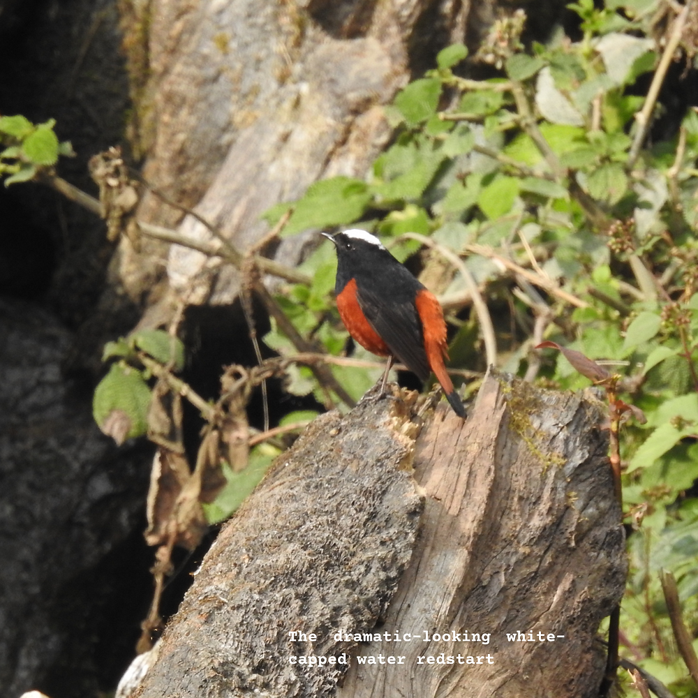 The dramatic-looking white-capped water redstart, sitting on a rock