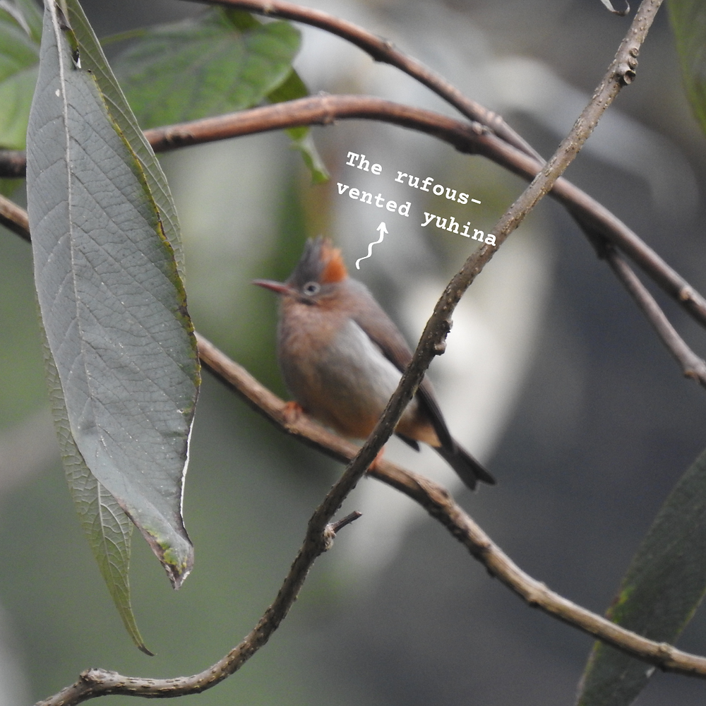 A blurred photo of a rufous-vented yuhina, with a muddy brown body, a rufous-coloured crown and a pointed beak; sitting on some branches