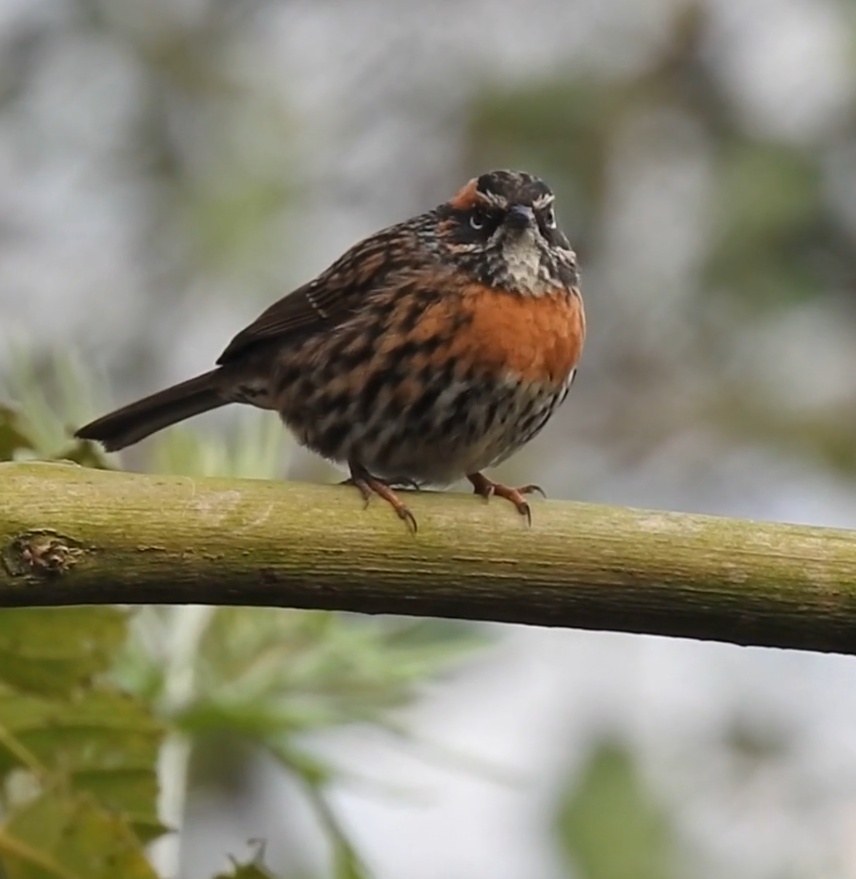 A rufous-breasted accentor, sitting on a brown branch, looking right at the camera