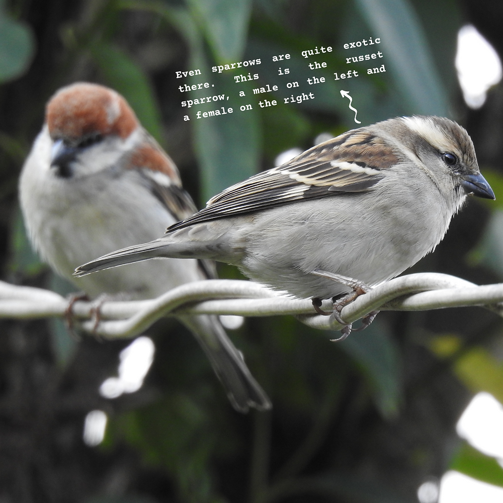 The male (left) and female (right) russet sparrows, sitting together on a tree branch