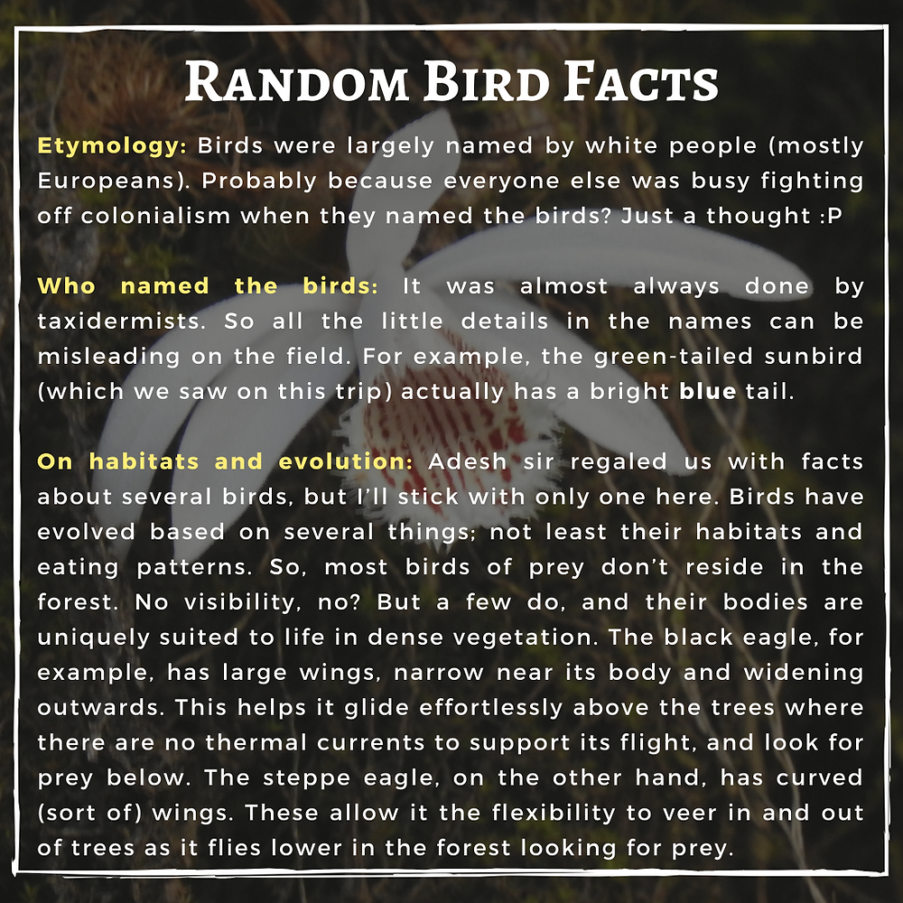 Text: Random bird facts  Etymology: Birds were largely named by white people (mostly Europeans). Probably because everyone else was busy fighting off colonialism when they named the birds? Just a thought :P  Who named the birds: It was almost always done by taxidermists. So all the little details in the names can be misleading on the field. For example, the green-tailed sunbird (which we saw on this trip) actually has a bright blue tail.  On habitats and evolution: Adesh sir regaled us with facts about several birds, but I'll stick with only one here. Birds have evolved based on several things; not least their habitats and eating patterns. So, most birds of prey don't reside in the forest. No visibility, no? But a few do, and their bodies are uniquely suited to life in dense vegetation. The black eagle, for example, has large wings, narrow near its body and widening outwards. This helps it glide effortlessly above the trees where there are no thermal currents to support its flight, and look for prey below. The steppe eagle, on the other hand, has curved (sort of) wings. These allow it the flexibility to veer in and out of trees as it flies lower in the forest looking for prey.