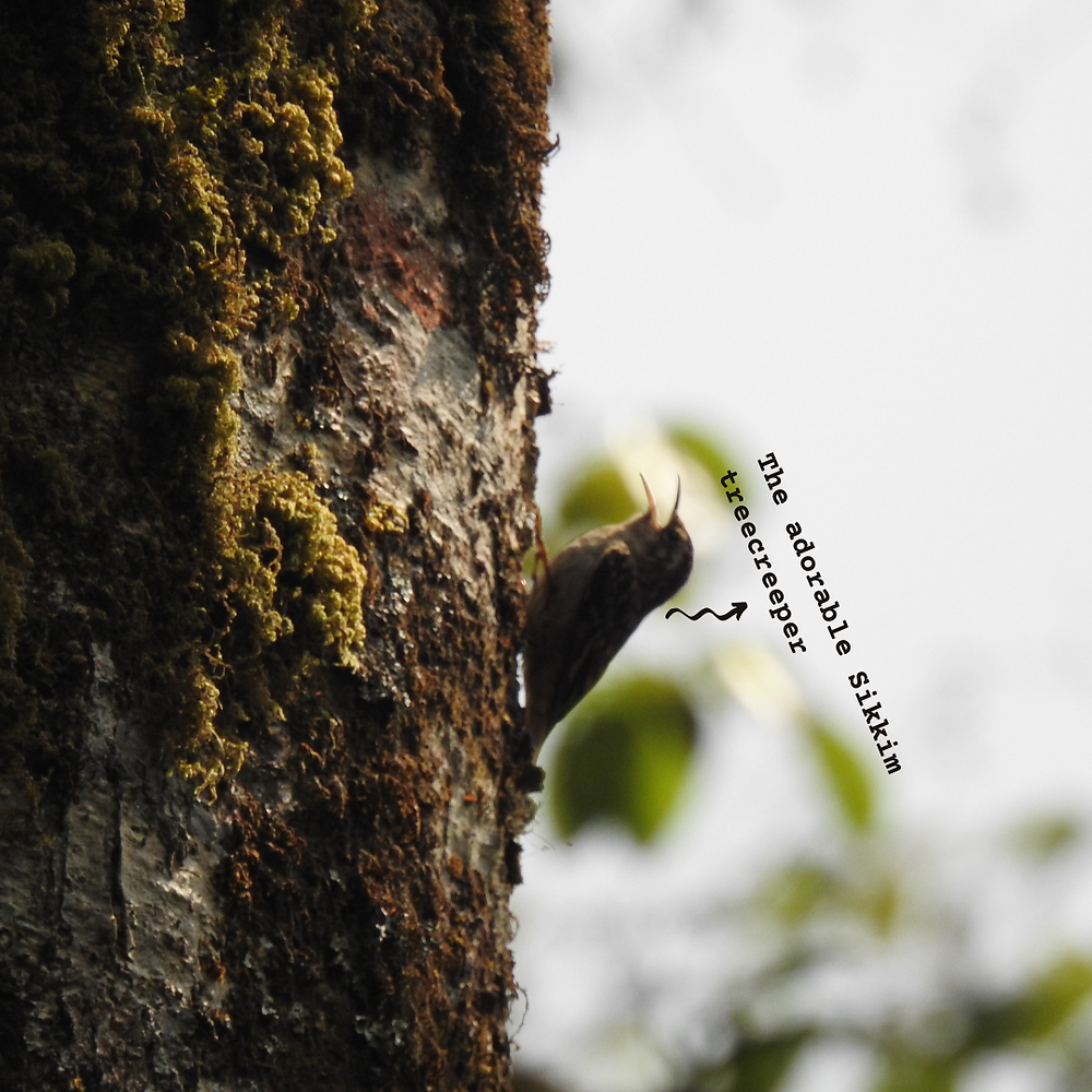 A brown-throated treecreeper, almost blending in with the tree trunk it's climbing on, with its beak open