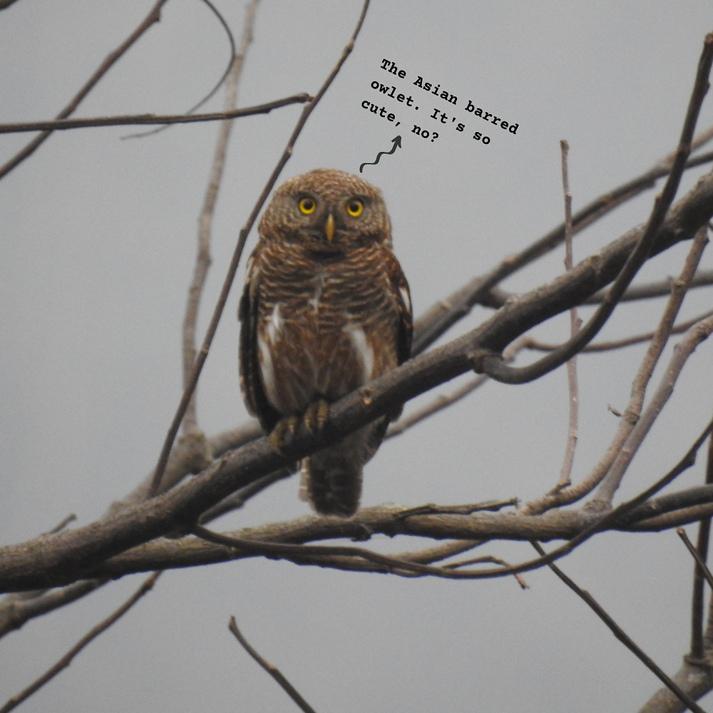 The adorable Asian barred owlet