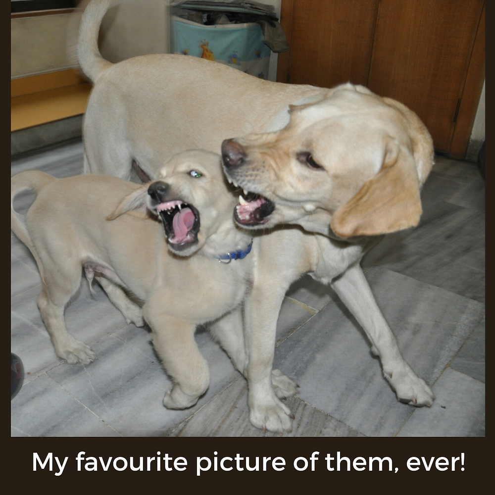 Two dogs playing with identical vicious expressions on their faces
