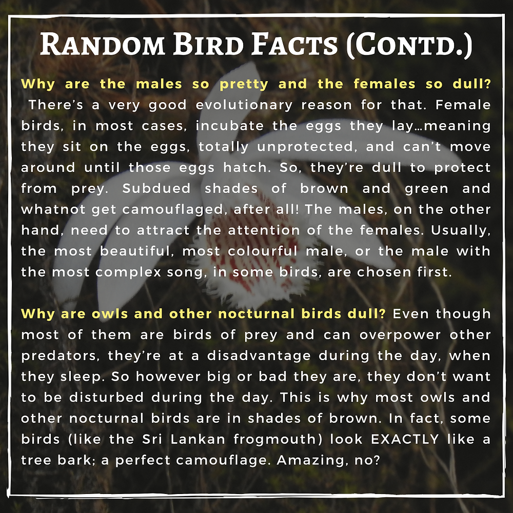 Text: Random bird facts (contd.)  Why are the males so pretty and the females so dull?  There's a very good evolutionary reason for that. Female birds, in most cases, incubate the eggs they lay…meaning they sit on the eggs, totally unprotected, and can't move around until those eggs hatch. So, they're dull to protect from prey. Subdued shades of brown and green and whatnot get camouflaged, after all! The males, on the other hand, need to attract the attention of the females. Usually, the most beautiful, most colourful male, or the male with the most complex song, in some birds, are chosen first.  Why are owls and other nocturnal birds dull? Even though most of them are birds of prey and can overpower other predators, they're at a disadvantage during the day, when they sleep. So however big or bad they are, they don't want to be disturbed during the day. This is why most owls and other nocturnal birds are in shades of brown. In fact, some birds (like the Sri Lankan frogmouth) look EXACTLY like a tree bark; a perfect camouflage. Amazing, no?