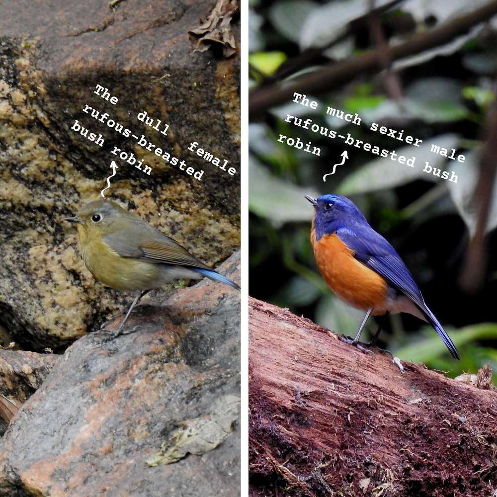 A collage of two pictures: On the left is the female rufous-breasted bush robin, which is a dull brown colour with a blue tail, and on the right is the male, which has a vivid orange chest and a bright blue back and tail.