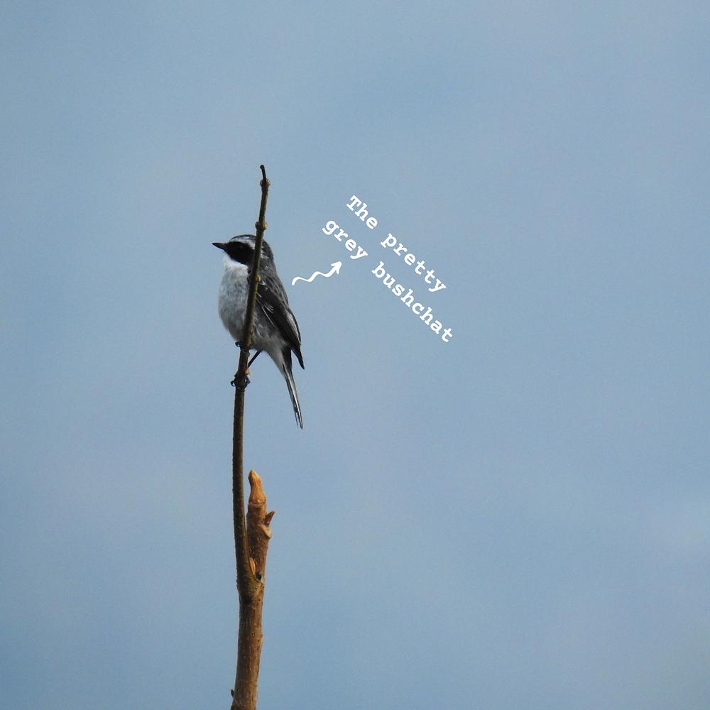 The cute little grey bushchat