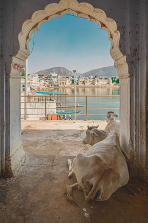 cows laying on the gats next to the holy lake in pushkar, india