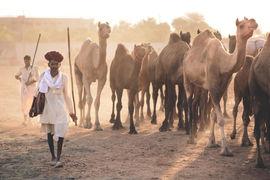 rajasthani man leading his heard of camels, pushkar camel fair