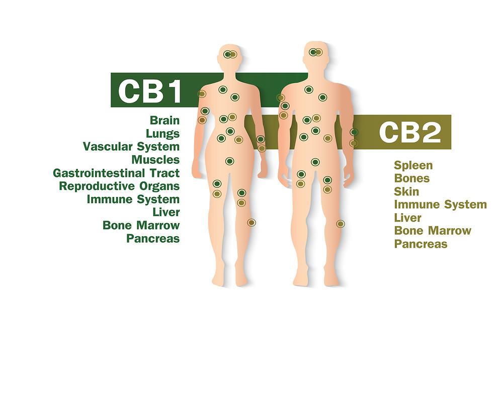 CB1 & CB2 receptors CBD