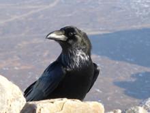 Raven on Buachaille Etive Mor