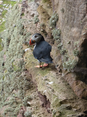 Puffin, Orkney