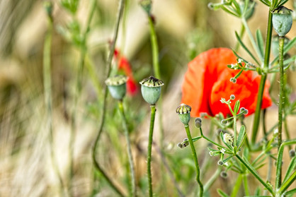 Mohn/ Poppies