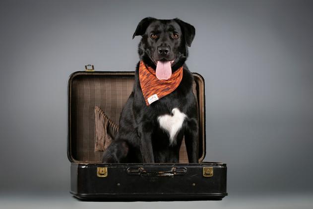 Nacho, Border Collie x Labrador