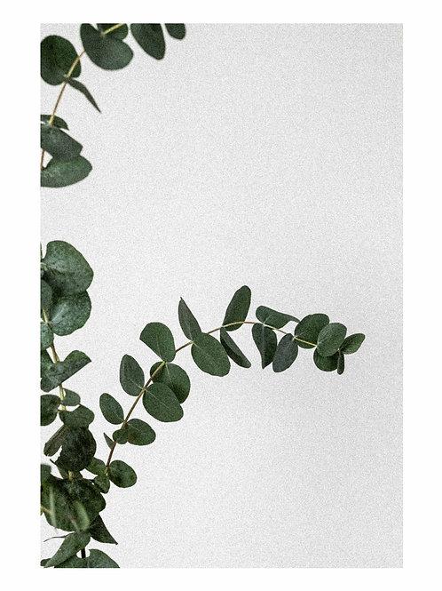Eucalyptus Grain