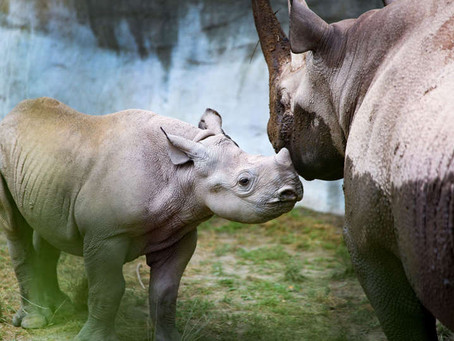 Jaali, the black rhino calf will be heading to a new home this fall