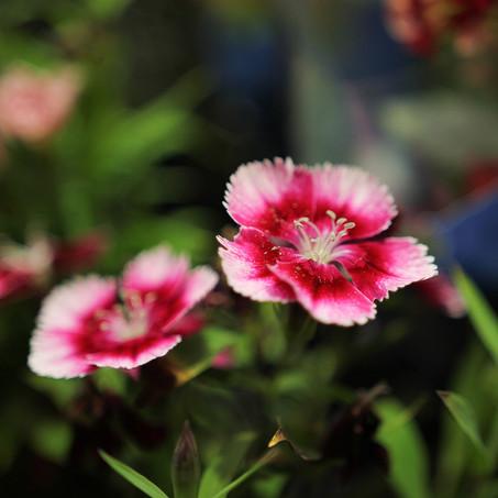 Feira de Flores de Holambra acontece em Aracaju