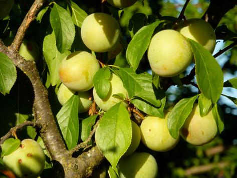 More urbanites have their pick of fresh fruit