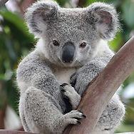 australian_koala.jpg