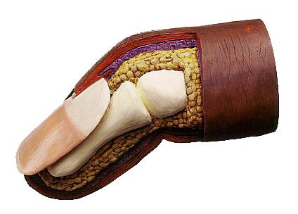 3D Model of a Toe