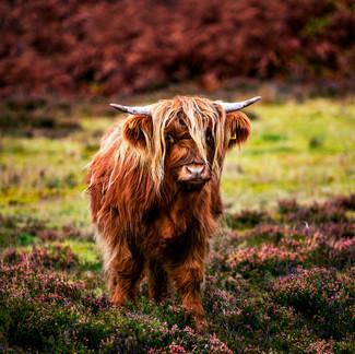 Scottish cow  Retrouvez cette photo dans le SHOP :