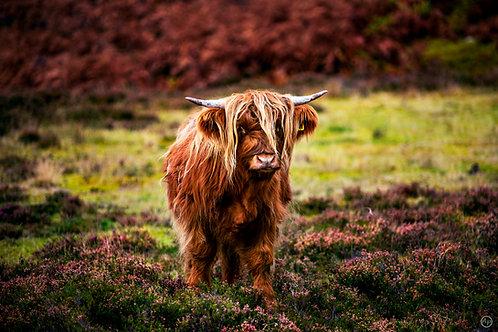Vache écossaise, Highlands