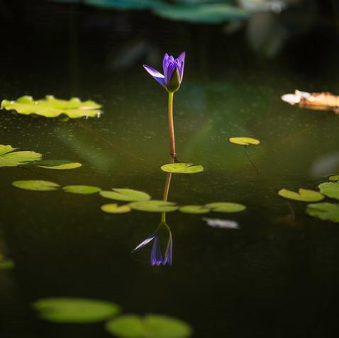 """""""Lotus bleu"""", fleur de nénuphar  Retrouvez cette photo dans le SHOP :"""