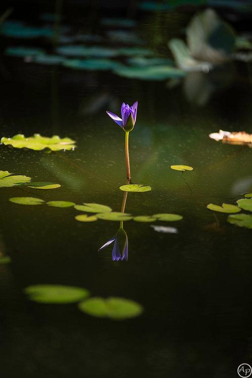 """""""Lotus Bleu"""", fleur de nénuphar, île de La Réunion"""