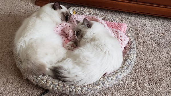 Elijah-and-Zacharia-Ragdoll-Kittens-of-M