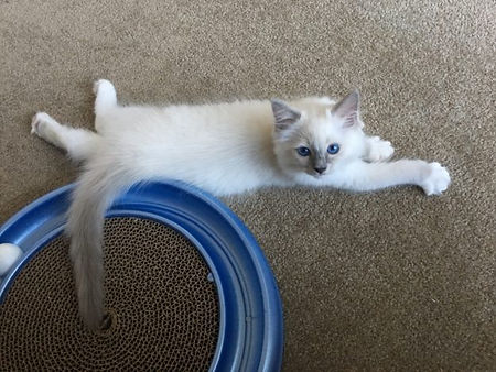 Hendricks-Ragdoll-Kitten-of-the-Month-im
