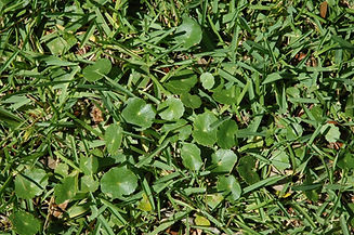 dollarweed-in-a-lawn-.jpeg