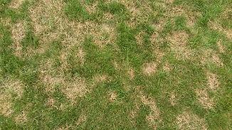 Brown-patch-lawn.jpg