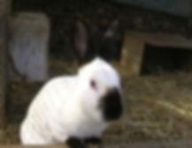 elevage de lapins et cochons d'Inde