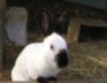 lapins,lapin et cochons d'Inde au pays basque