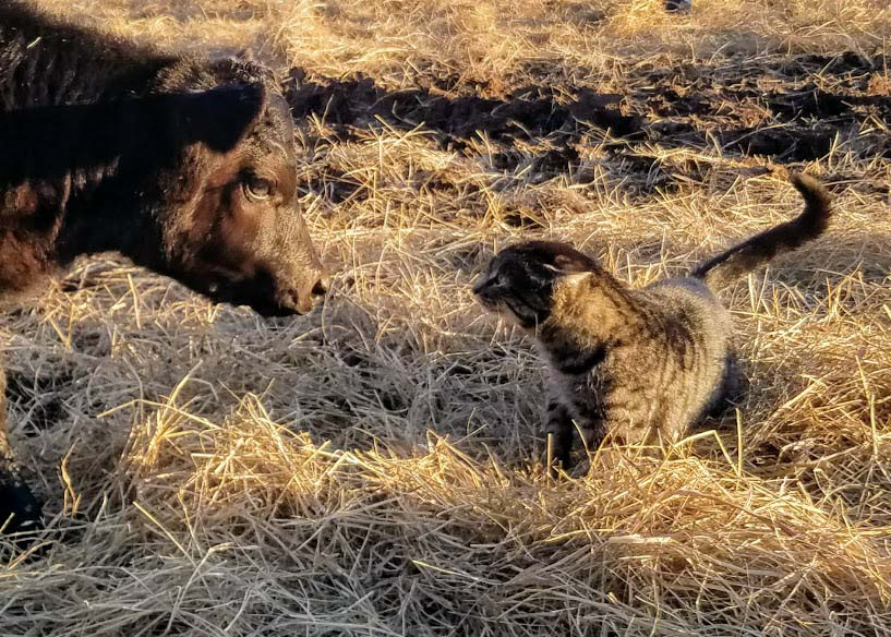 Our cat mad at a baby calf