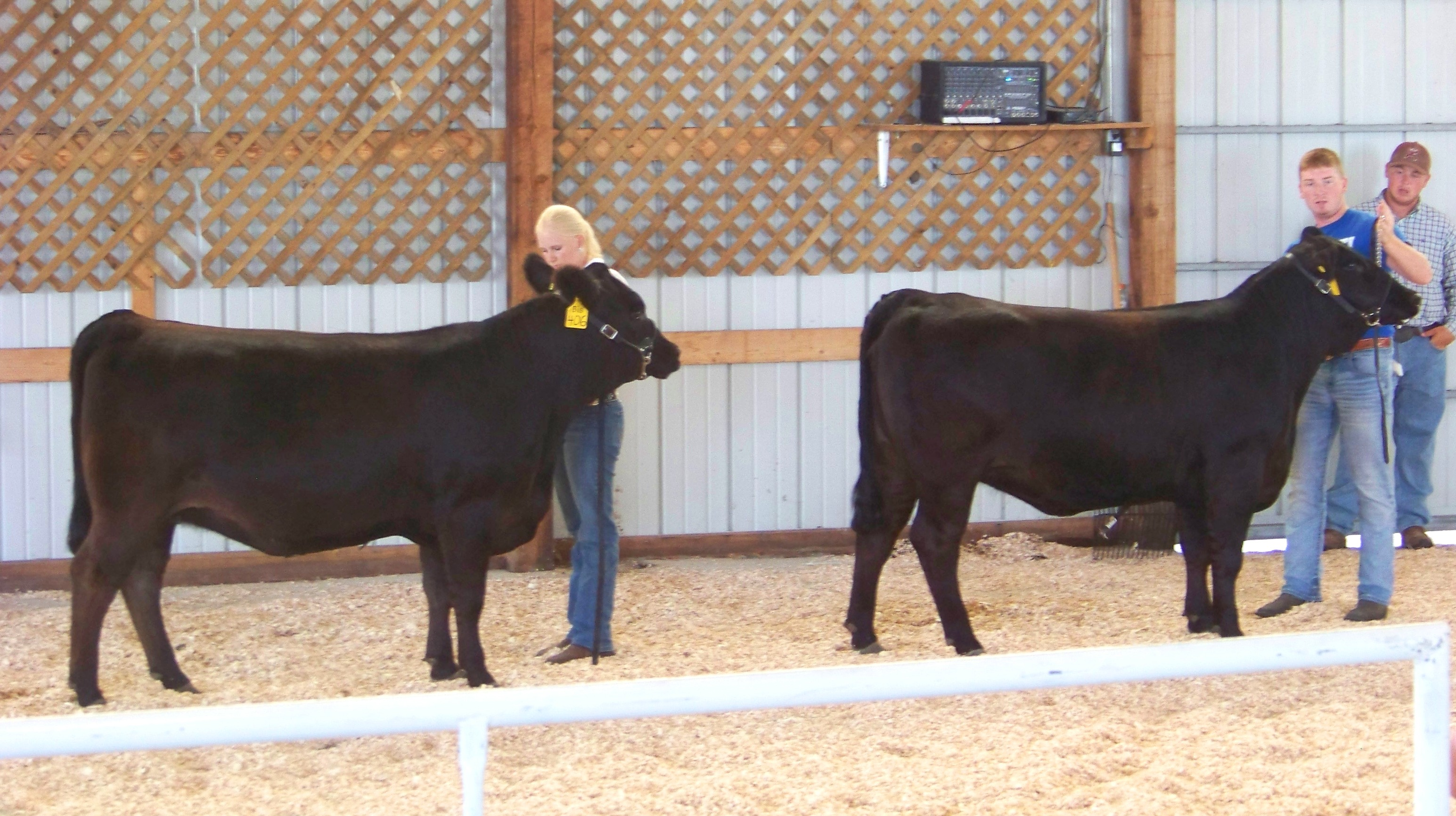 Our two show heifers