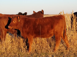 Gelbvieh-Red Angus heifer calf