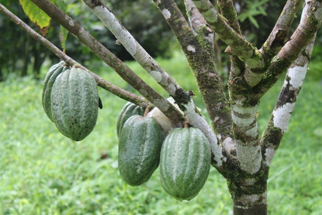 SOC-CR Cacao Plant