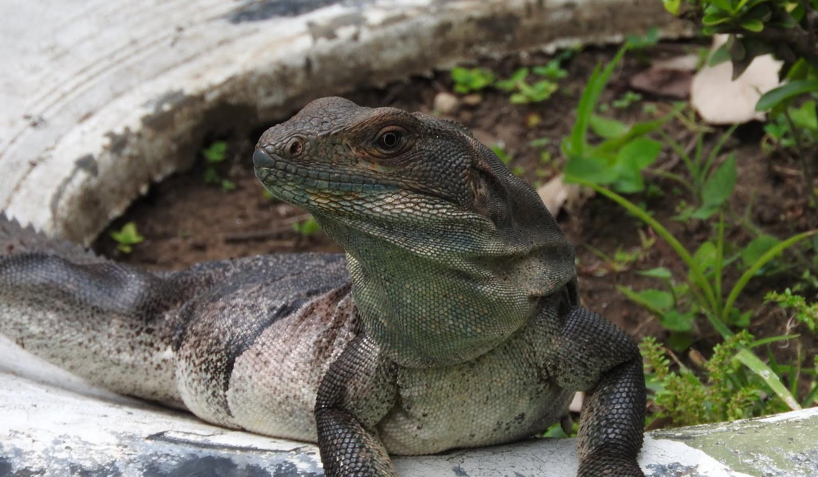 SOC Horizontes - Iguana
