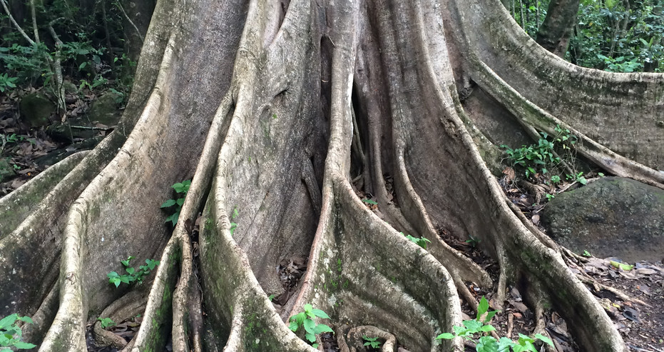 SOC Fig Tree Buttress Roots