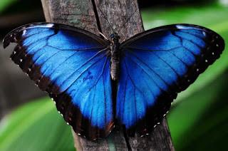 SOC Biodiversity Morpho Butterfly