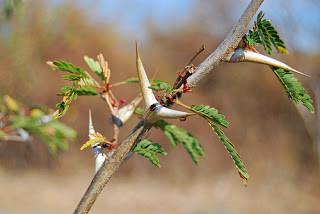 Acacia Tree Symbiosis with Ants